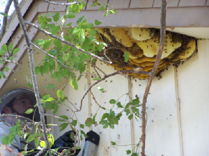 0291kbee removal, willie the bee man, bees,swarm