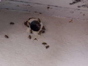 bee removal, willie the bee man, bees,swarm