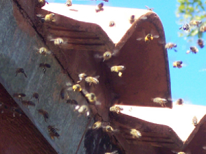 bee removal, bees, Willie the bee man, swarms